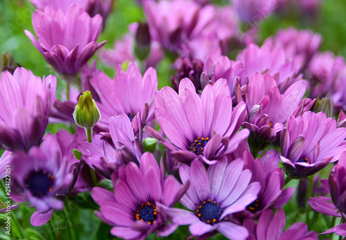 Leinwanddruck Bild Dimorphotheca ecklonis (Osteospermum,(Cape Marguerite,African daisies) flowers in the garden of Tenerife,Canary Islands, Spain.A native plant of South Africa.Floral background.Selective focus.