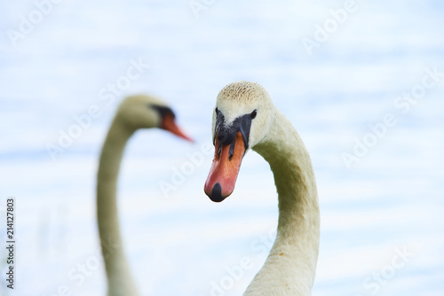 Canvas Zwaan Close up portrait of white swan on the water lake with water surface background