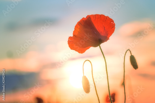 Red poppy. Field of red poppy. Sunset over a field of poppies - 214129026