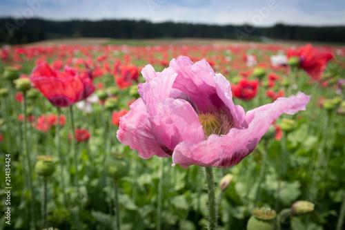 In de dag Klaprozen Rosa Mohnblüte