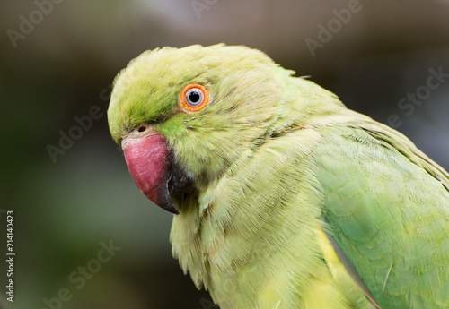 Foto Spatwand Papegaai Green parrot portrait