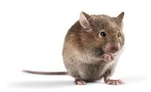 """Постер, картина, фотообои """"Mouse"""""""