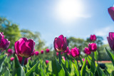 Colorful pink tulip flowering in the garden with blue sky - 214151268