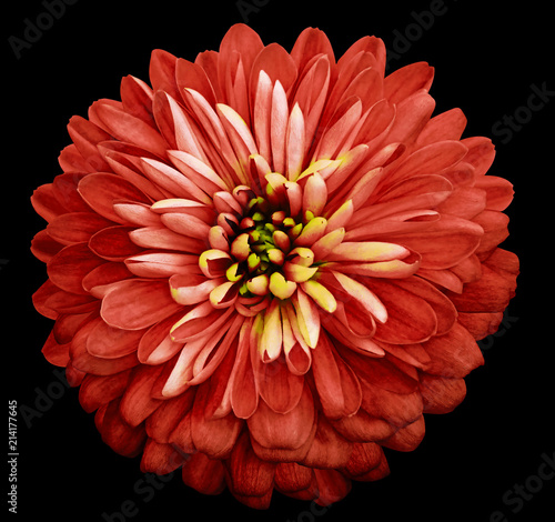 Fotobehang Rood traf. Chrysanthemum bright red flower on the black isolated background with clipping path. Closeup no shadows. Garden flower. Nature.