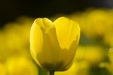 tulip - 214203683