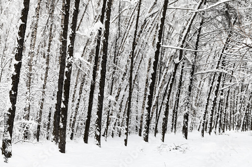 Foto Spatwand Berkenbos bare trees in snow-covered urban park in winter