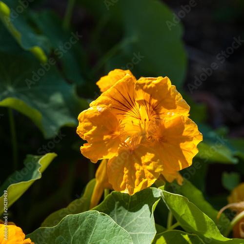 Foto Murales Fleur de capucile