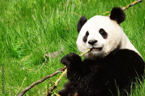 Panda géant en train de mâchouiller du bois