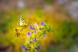 Leinwanddruck Bild - Schmetterling auf einer Blume im Morgenlicht