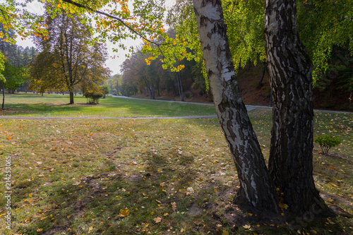 high birch on the background of the park avenue - 214253065