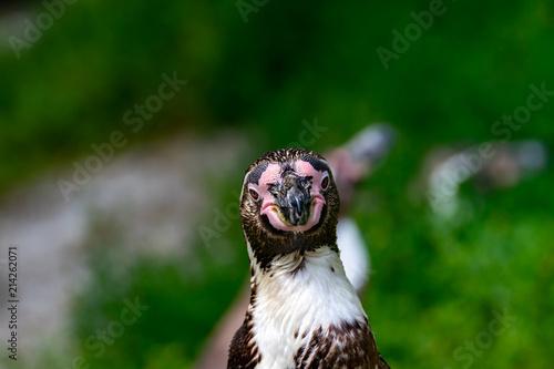 Foto Spatwand Pinguin Portrait von einem Pinguin