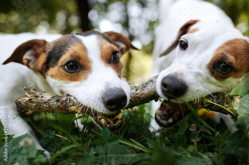 Two jack russells fight over stick on the grass in the park - 214269433
