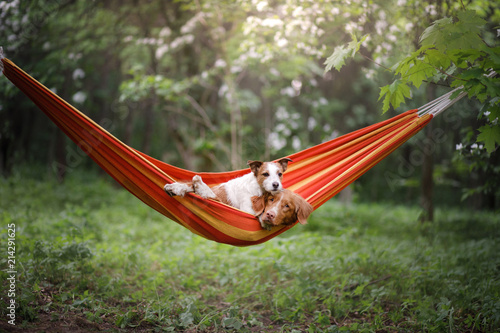 Leinwandbild Motiv pet in a hammock on vacation. Two dogs on vacation. Nova Scotia Duck Tolling Retriever and a Jack Russell Terrier