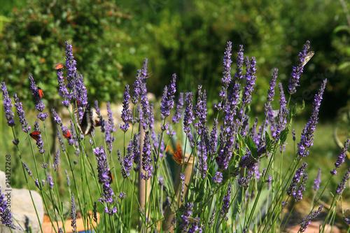 Canvas Lavendel lavande