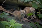 Eurasian Lynx Cubs, Lynx Lynx.