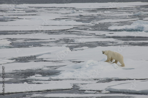 Canvas Ijsbeer A polar bear swims and plays between ice floes in the Arctic waters