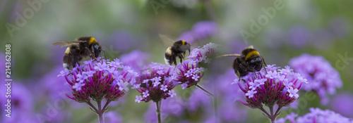 In de dag Bee bumblebees on the garden flower - macro photo