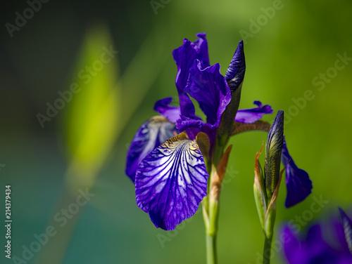 Canvas Iris Blaue Iris