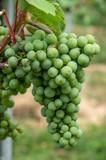 Weintrauben - 214383061