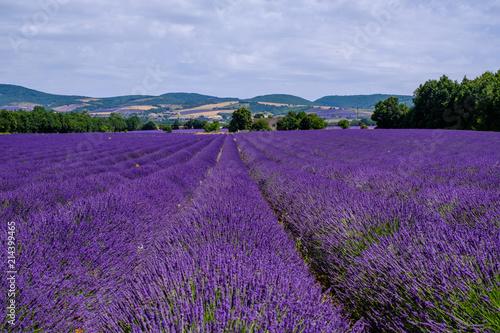 Champ de lavande sur le plateau d'Albion, Provence, France. © Marina