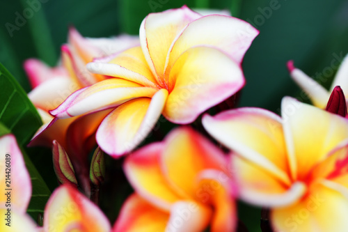 Plexiglas Plumeria beautiful yellow-white frangiapani flower background.