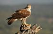 Aguila perdicera en su atalaya de alcornoque