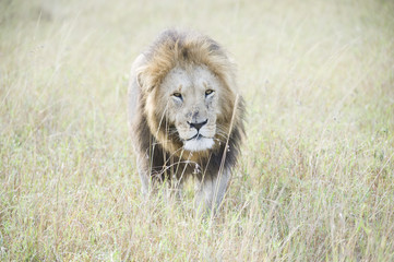 An African lion looking powerful in his pride land in Africa