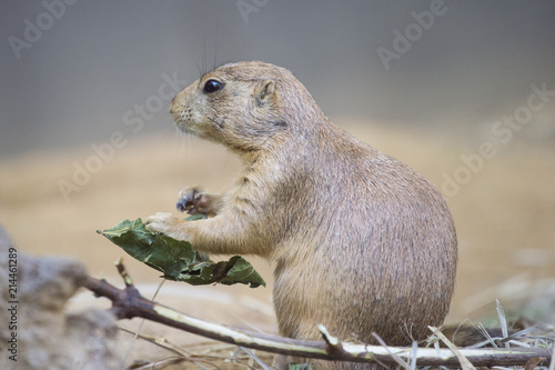 In de dag Rotterdam Black-tailed prairie dog (Cynomys ludovicianus) watching from nearby burrow