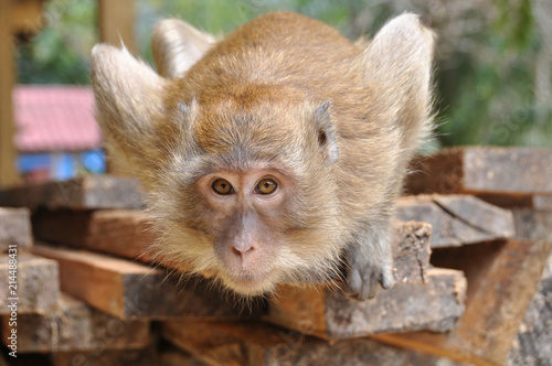 In de dag Aap PORTRAIT OF A WILD MACAQUE MONKEY IN THAILAND WITH DEFOCUSED BACKGROUND