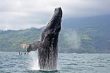 Humpback whale breaching in