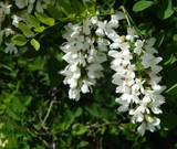 photo of blooming acacia - 214503487