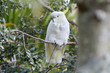 Leinwandbild Motiv Sulphur-crested cockatoo sit on a tree branch