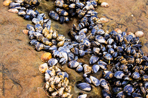 Aluminium Stenen Barnacles and muscles attached to a rock during low tide. Southern California marine life.