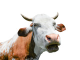 Cow isolated. Red funny cow portrait close up. Talking cow. Farm animals.