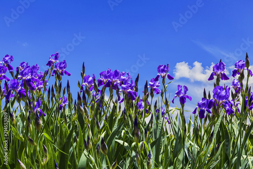 Canvas Iris Purple irises on a background of blue sky with the clouds