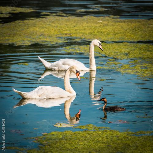 Canvas Zwaan Weiße Schwäne und Haubentaucher im blauen See