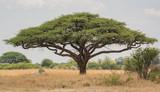 Akazienbaum in der Savanne Simbabwe, Südafrika - 214568251