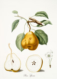 Isolated Pear, pear tree leaves, pear flower and two fruit sections on white background. Old botanical watercolor detailed illustration By Giorgio Gallesio publ. 1817, 1839 Pisa Italy.  - 214588028