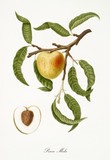 Peach, also known as apple shaped peach, peach tree leaves, fruit section with kernel isolated on white background. Old botanical detailed illustration by Giorgio Gallesio publ. 1817, 1839 Pisa Italy - 214588211