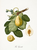 Fig, also known as gentle fig, fig tree leaves, fruit section isolated on white background. Old botanical detailed illustration by Giorgio Gallesio publ. 1817, 1839 Pisa Italy - 214588215