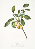 Plum, also known as damascena yellow plum, group of plums on branch with leaves isolated on white background. Old botanical detailed illustration by Giorgio Gallesio publ. 1817, 1839 Pisa Italy - 214588221