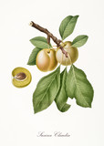 Yellow plum, also known as Claudia plum, plum tree leaves, fruit section isolated on white background. Old botanical detailed illustration by Giorgio Gallesio publ. 1817, 1839 Pisa Italy - 214588222