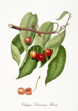red cherry, also known as red duracina cherry, cherry tree leaves, fruit section isolated on white background. Old botanical detailed illustration by Giorgio Gallesio publ. 1817, 1839 Pisa Italy - 214588234