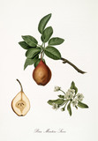 Pear, also known as Martin pear, Pear tree leaves and flower isolated on white background. Old botanical detailed illustration by Giorgio Gallesio publ. 1817, 1839 Pisa Italy - 214588237
