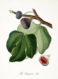 Black fig, also known as black brogiotto fig, fig tree leaves and fruit section isolated on white background. Old botanical detailed illustration by Giorgio Gallesio publ. 1817, 1839 Pisa Italy - 214588242