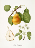 Pear, also known as campana pear, pear tree leaves, fruit section and flowers isolated on white background. Old botanical detailed illustration by Giorgio Gallesio publ. 1817, 1839 Pisa Italy - 214588249