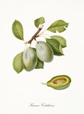 Green plum, also known as catelana plum, plum tree leaves and fruit section isolated on white background. Old botanical detailed illustration by Giorgio Gallesio publ. 1817, 1839 Pisa Italy - 214588256