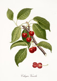 Red cherry, also known as Visciola cherry, cherry tree leaves and fruit section isolated on white background. Old botanical detailed illustration by Giorgio Gallesio publ. 1817, 1839 Pisa Italy - 214588260