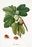 Fig, also known as Rubaldo fig, fig tree leaves and fruit section isolated on white background. Old botanical detailed illustration by Giorgio Gallesio publ. 1817, 1839 Pisa Italy - 214588273