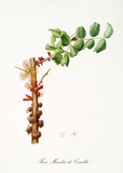 Carob Male flower, Fiore maschio di Carruba isolated on white background. Old botanical illustration realized in a detailed watercolor style by Giorgio Gallesio publ. 1817, 1839 Pisa Italy - 214588275